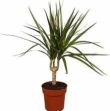Dominik Blumen und Pflanzen Ananas - Baum, Drachenbaum, Dracena marginata, 1 Pflanze, 15-17 cm Topf, ca. 50 cm hoch, Zimmerpflanzen, Kübelpflanzen