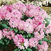 Dominik Blumen und Pflanzen Ball-Rhododendron, Rhododendron yakushimanum Hybride Kalinka, 1 Pflanze, 5 Liter Container, 25-30 hoch, hellrotblühend, winterhar