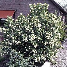 Dominik Blumen und Pflanzen, Gefüllter