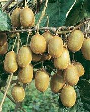 Dominik Blumen und Pflanzen Kiwi, Actinidia chinensis,Jenny, selbstbefruchtend, 1 Pflanze, ca. 30 cm hoch, 1-2 Liter-Container, plus 1 Paar Handschuhe gratis