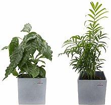 847f271d103d0 DOMINIK BLUMEN UND PFLANZEN Pflanzen günstig online kaufen