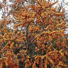 Dominik Blumen und Pflanzen, Sanddorn Busch, 1
