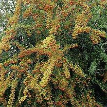 Dominik Blumen und Pflanzen, Sanddorn-Set: je 1