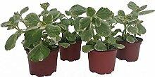 Dominik Blumen und Pflanzen, Verpiss-Dich-Pflanze, 4 Stück  10,5cm Topf
