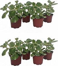 Dominik Blumen und Pflanzen, Verpiss-Dich-Pflanze, 8 Pflanzen,