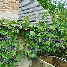 Dominik Blumen und Pflanzen, Weinrebe Regent©, rot, 1 Pflanze