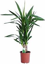Dominik Blumen und Pflanzen Yucca - Palme, Palm - Lilie, Yucca elephantipes, 2 - stämmig, 2-3 Liter Topf, ca. 60 cm hoch, 1 Zimmerpflanze, Kübelpflanze