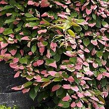 Dominik Blumen und Pflanzen Zier-Kiwi, Actinidia kolomikta, 1 Pflanze, ca. 30 cm hoch, 1,3 Liter Container, gestäbt, plus 1 Paar Handschuhe gratis