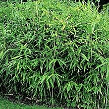 Dominik Blumen und Pflanzen, Zwergbambus,