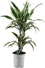 Dominik Zimmerpflanze Drazena, Höhe: 50 cm, 1