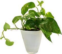 Dominik Zimmerpflanze Efeutute, Höhe: 30 cm, 1