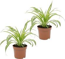Dominik Zimmerpflanze Grünlilien, Höhe: 15 cm, 2