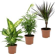 Dominik Zimmerpflanze Grünpflanzen-Set, Höhe: 30