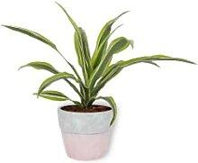Dracaena Lemon Lime - Drachenbaum - Zimmerpflanze