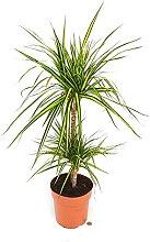 Dracena Marinata NEW, 2 Stück, echte Pflanze