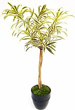 Dracena PNEOMELE SONG OF INDIA Baum aus schwarzem
