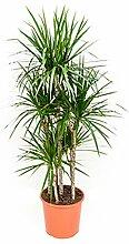 Drachenbaum 120-150 cm im 32 cm Topf große