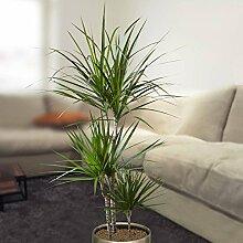Drachenbaum dracaena marginata 150cm - 1 pflanze