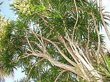 Drachenbaum Dracaena marginata Hochstamm Pflanze 30cm Gerandeter Drachenbaum