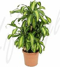 Drachenbaum, Dracaena massangeana, ca. 90 cm,