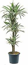 Drachenbaum White Stripe 110-140 cm im 26 cm Topf