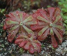 Drosera natalensis - Sonnentau - fleischfressende Pflanze - 5 Samen