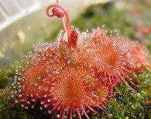 Drosera Sessilifolia 10 Samen,Fleischfressende Pflanze , Sonnentau