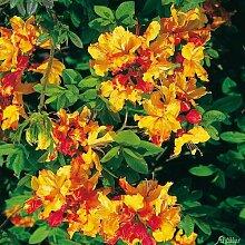 Duft-Azalee 'Sunte Nectarine'