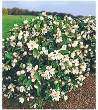 Duft-Magnolien-Hecke Fairy,1 Pflanze Michelia