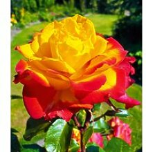 Duft-Rose 'Twister Select®'