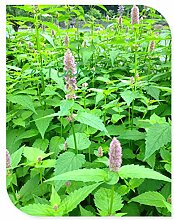 Duftende Blumensamen 30pcs / bag, Giant Ysop-Kraut, Bonsai Blume Agastache Rugosa Garten Topfpflanze Medizin Wer