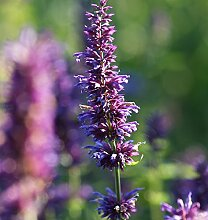 Duftnessel Purple Haze - Agastache foeniculum