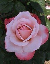 Duftrose d. Provence Arioso im 5 Liter Rosentopf