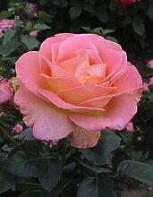 Duftrose d. Provence Elle im 5 Liter Rosentopf
