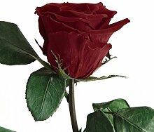 Duftrose Ewige Rose, haltbar 3 Jahre konservierte