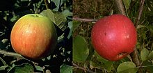 Duo Apfel Obstbaum Apfelbaum James Grieve Elstar