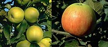 Duo Apfel Obstbaum Apfelbaum James Grieve Golden