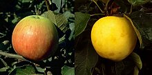 Duo Apfel Obstbaum Apfelbaum James Grieve weißer