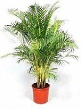 Dypsis Lutescens, Areca Palm Goldene Cane Palms
