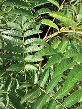 Eberesche - Vogelbeere - Drosselbeere - Sorbus