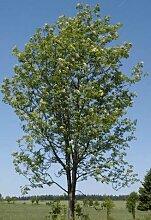 Eberesche / Vogelbeere ** Sorbus aucuparia ** (50