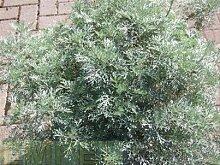 Eberraute Kräuter Pflanze 12er Topf