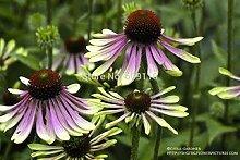 Echinacea 'Green Envy' Blumensamen, 100