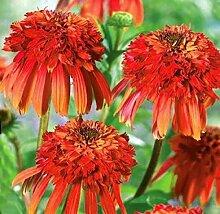 Echinacea 'Hot Papaya' Blumensamen, 50