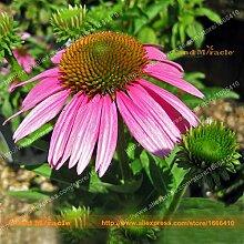 Echinacea 'POW WOW Berry' Sonnenhut