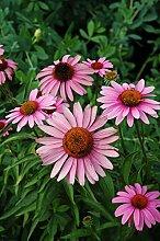 Echinacea - Bravado Seeds * Auffälliges *