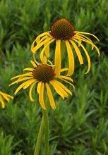 Echinacea paradoxa oder Bushs Sonnenhut 15 Samen