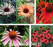 Echinacea Purpurea & # 39; Rubinstern & # 39;