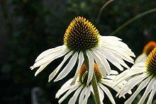 Echinacea purpurea 'Alba' - 3 Pflanzen im