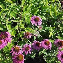 Echinacea purpurea 'Augustkönigin' -